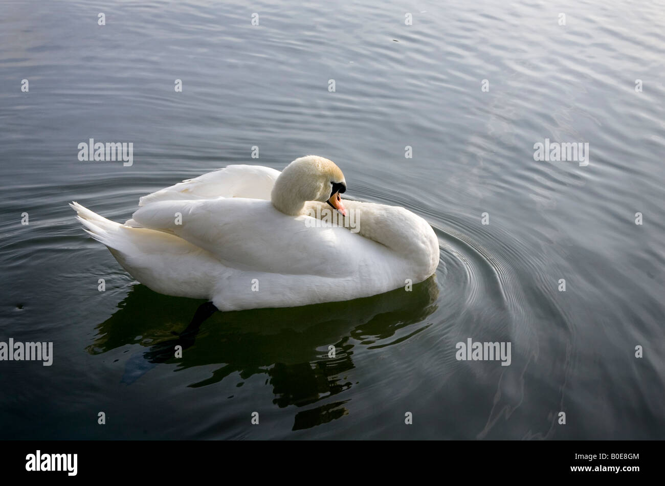 A swan on the River Thames near Medmenham, Buckinghamshire, England. Stock Photo