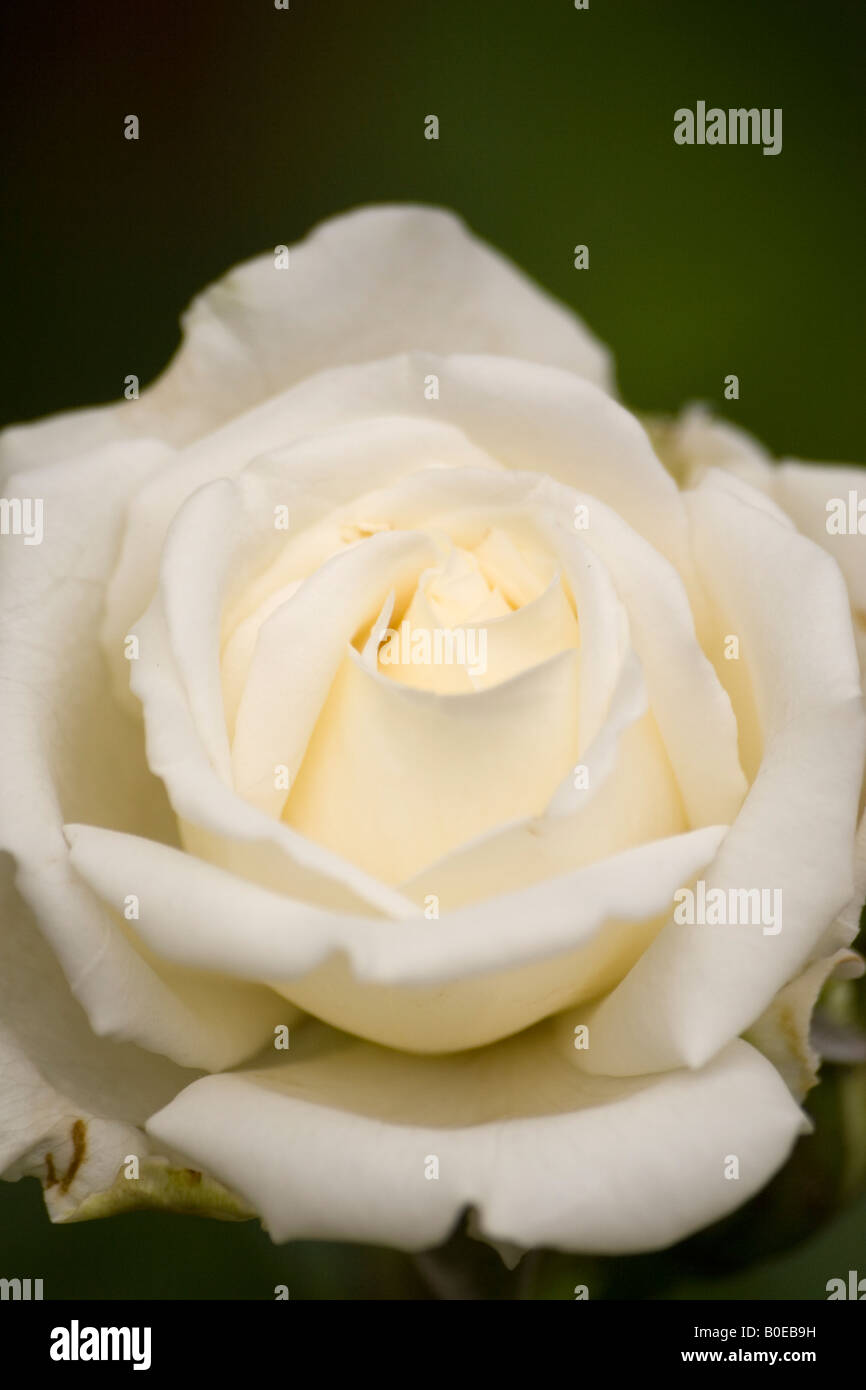 Rose Flower Indian Stock Photos Rose Flower Indian Stock Images