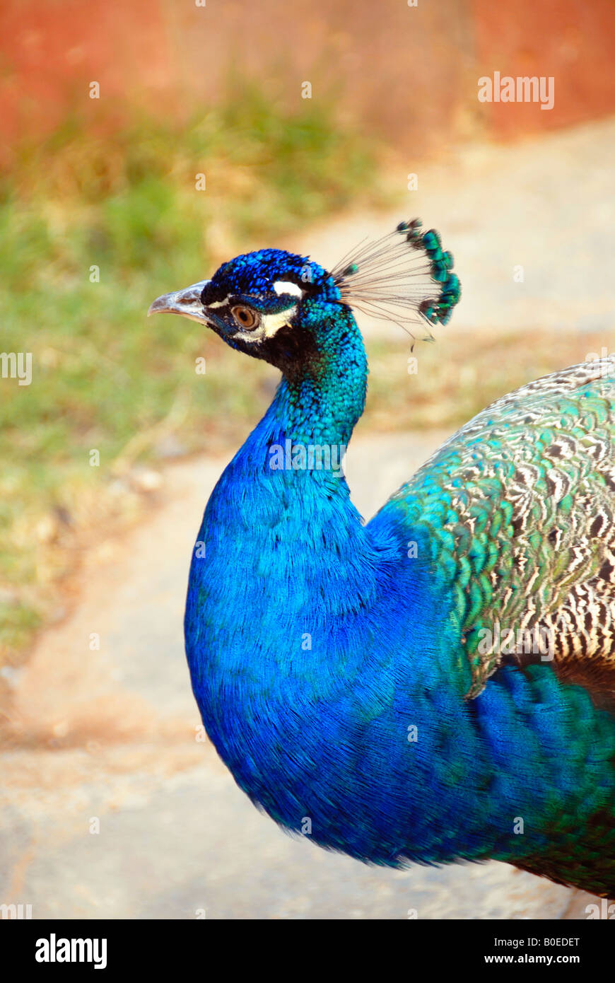 A peacock close up - Stock Image