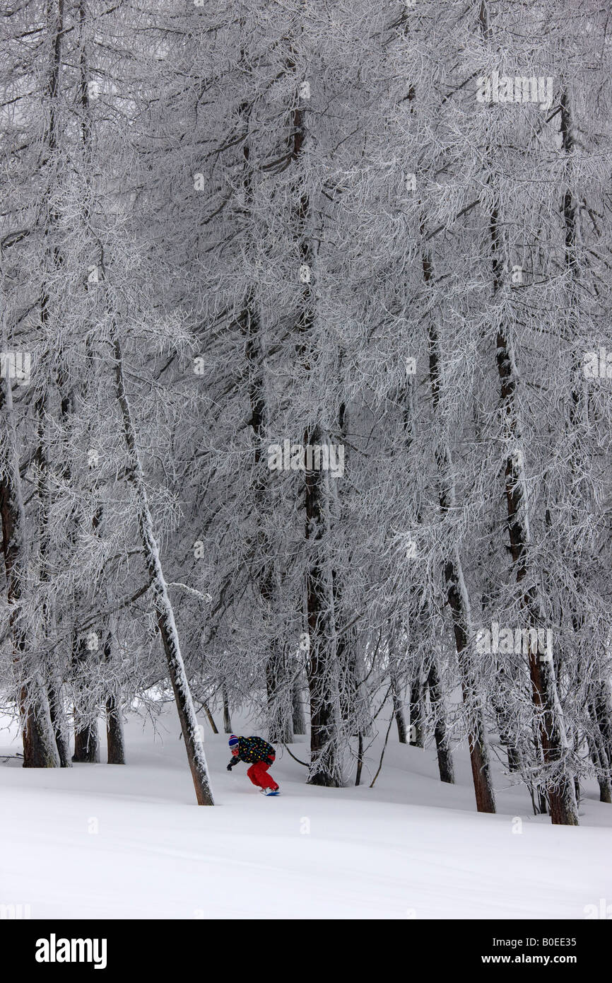 Snowboarder rides off piste through tall pine trees. - Stock Image