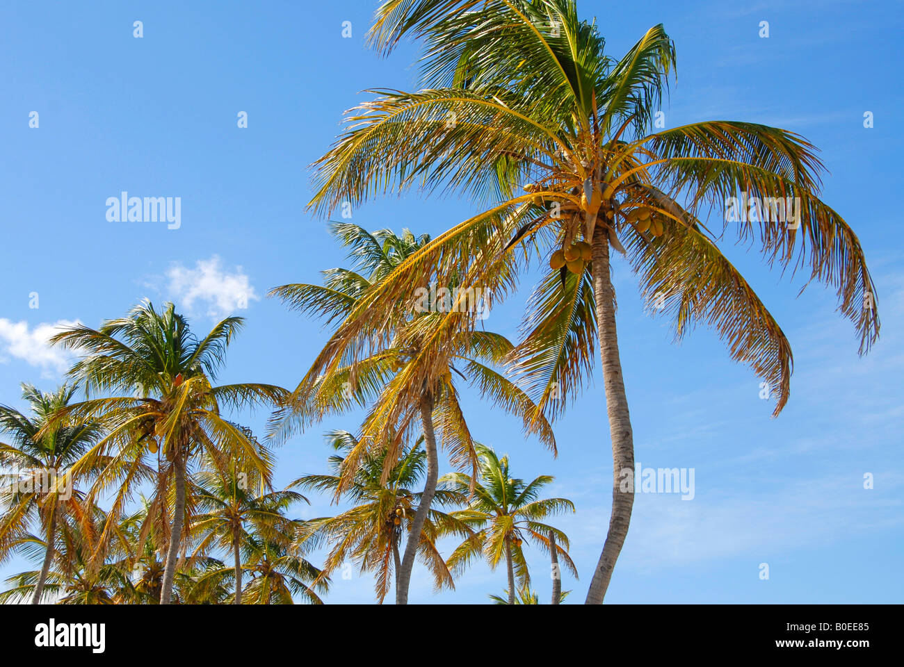 Palm trees and blue sky - Stock Image