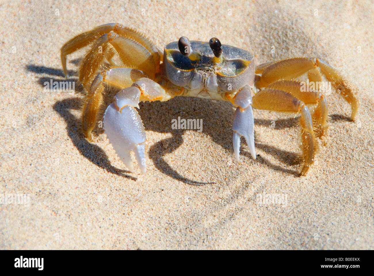 A crab on the beach - Stock Image