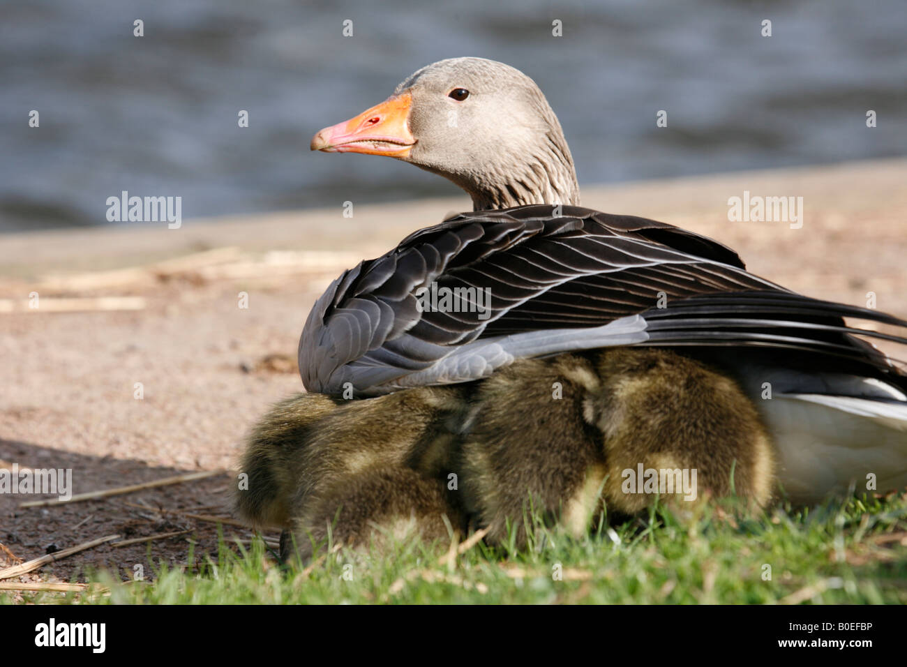Greylag Goose anser with chicks sheltering under wing - Stock Image