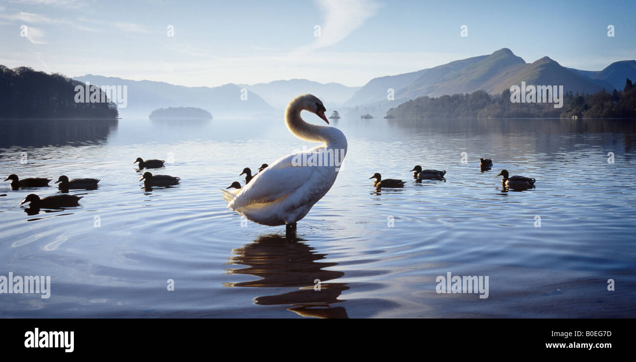 Swan silhouetted against a backdrop of Derwentwater cross lit with early morning sunshine.  Catbells is in the distance. - Stock Image