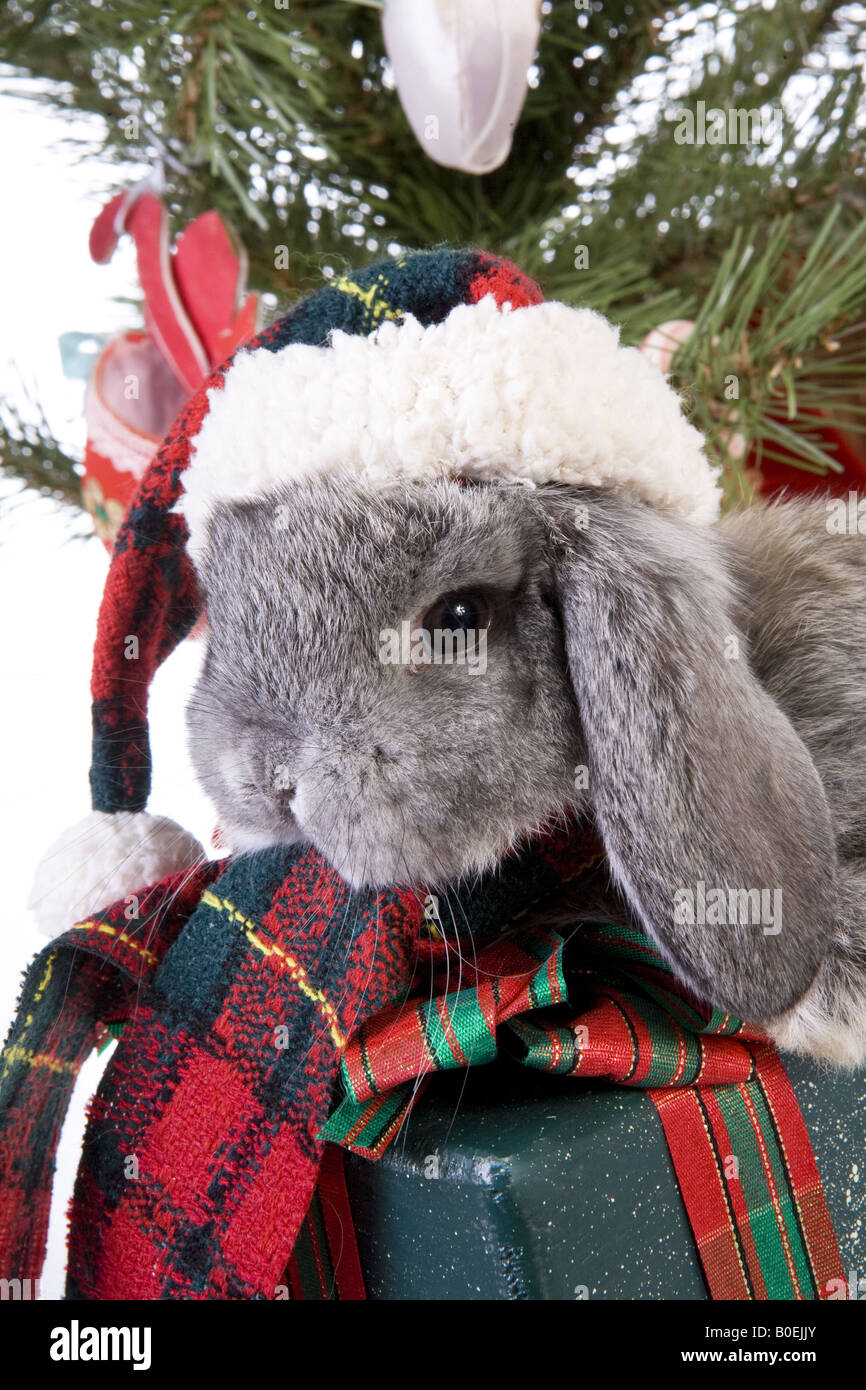 cute christmas grey mini lop baby bunny rabbit wearing hat under christmas tree with gifts isolated