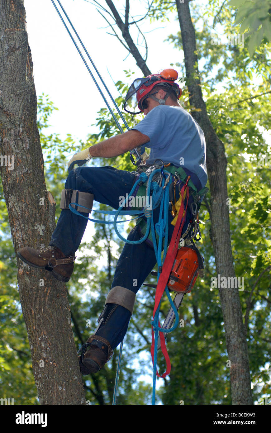 Tree surgeon up in a tree with climbing spikes protective gear ropes and harnesses and chain saw Stock Photo