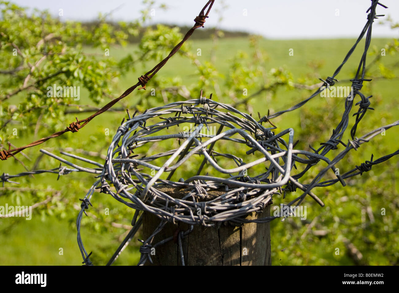 Coil of barbed wire sitting on a fence post - Stock Image