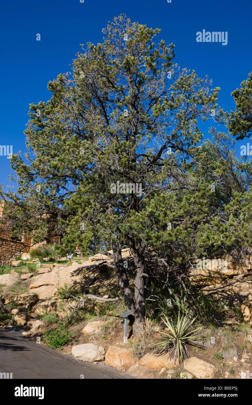 Two needle pinyon pine tree Pinus edulis Mesa Verde National Park near Cortez Colorado - Stock Image