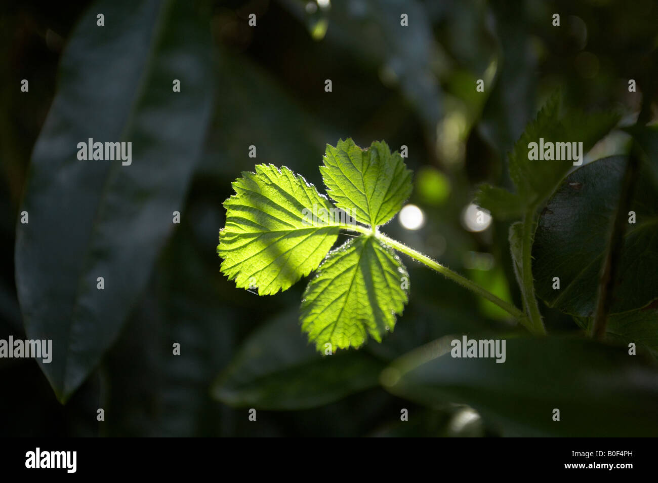 Plant leaf caught in a ray of direct sunlight sunshine in the New forest Hampshire England UK - Stock Image