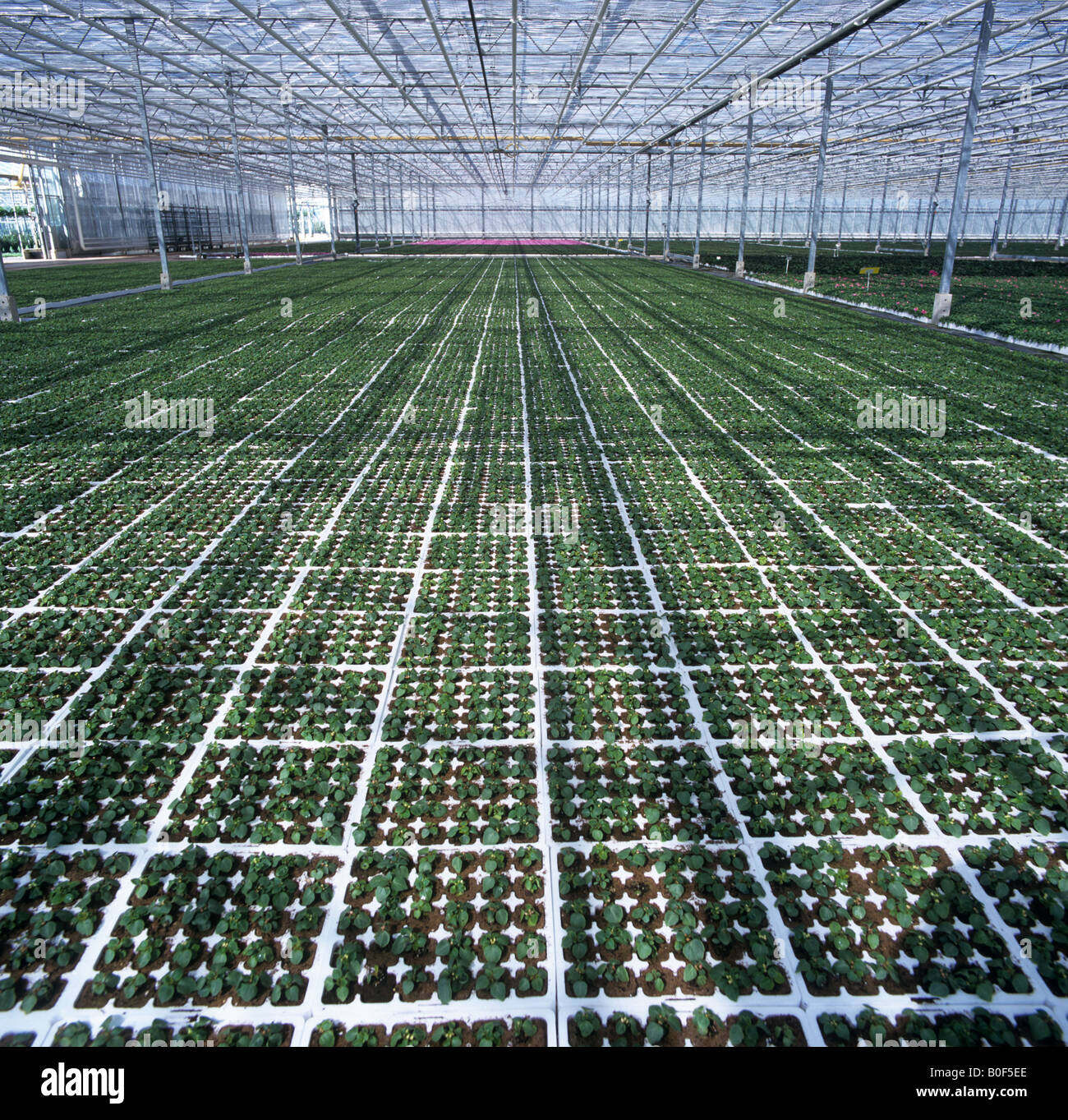 Young buzy lizzie seedlings in large commercial glasshouse to rear as flowering pot plants - Stock Image