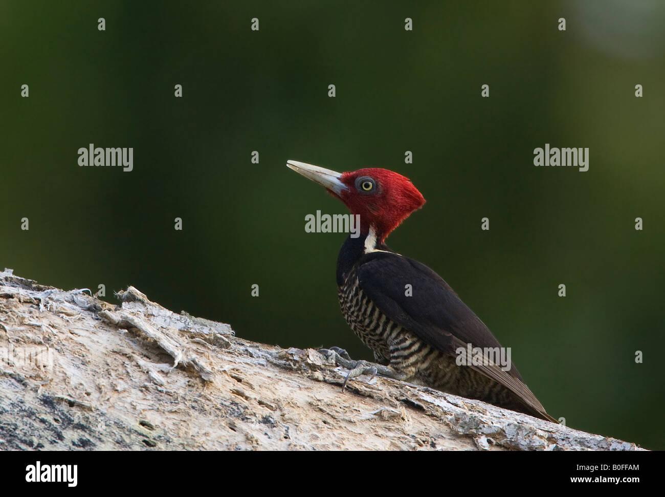 Pale billed Woodpecker - Stock Image