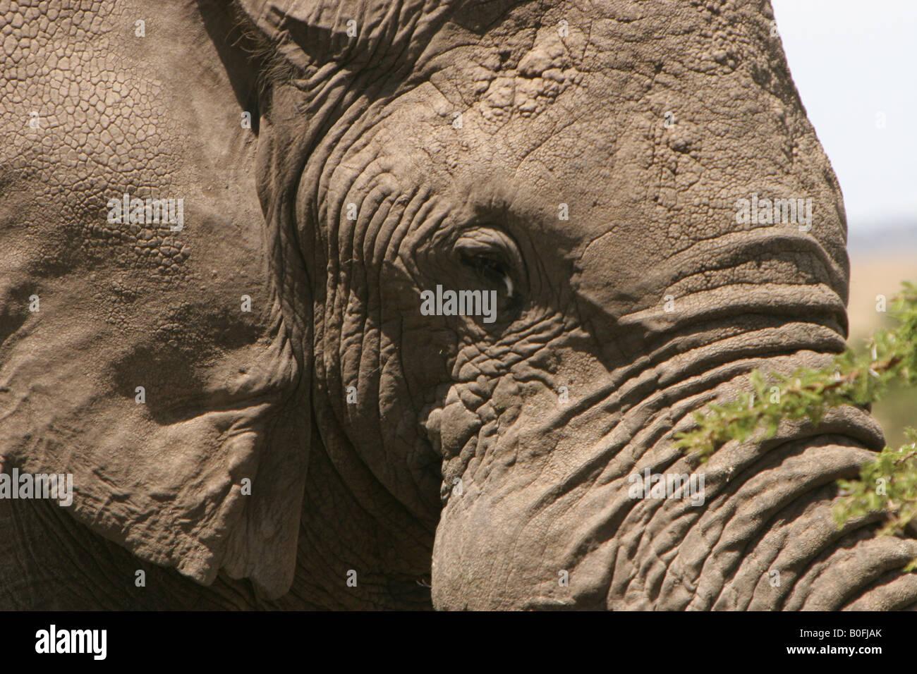 Bull elephant face close-up view in the Masai Mara Kenya East Africa - Stock Image