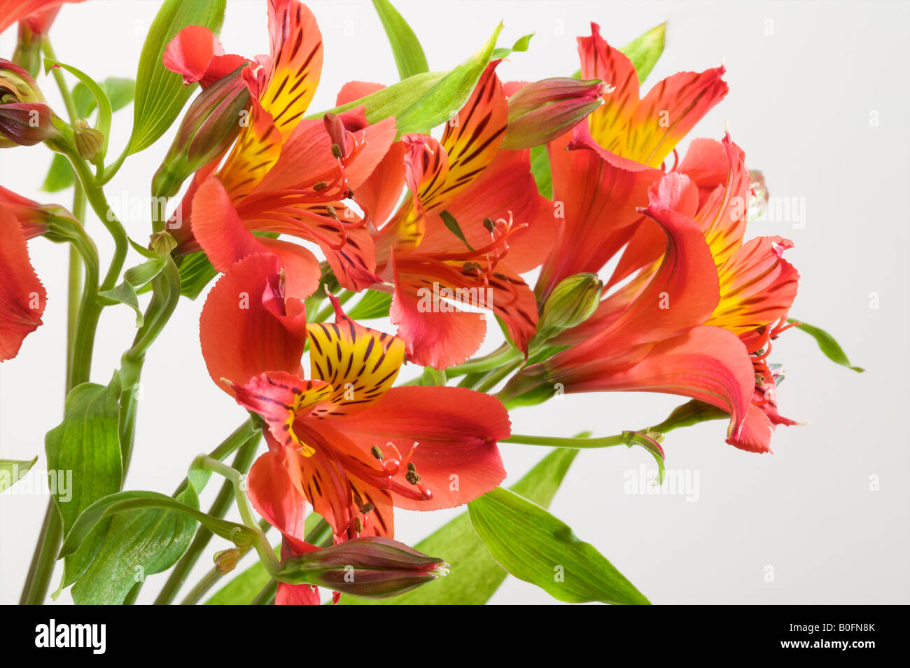 Alstroemeria aurea or Peruvian Lily as a bunch of flowers in a vase flower close up Stock Photo