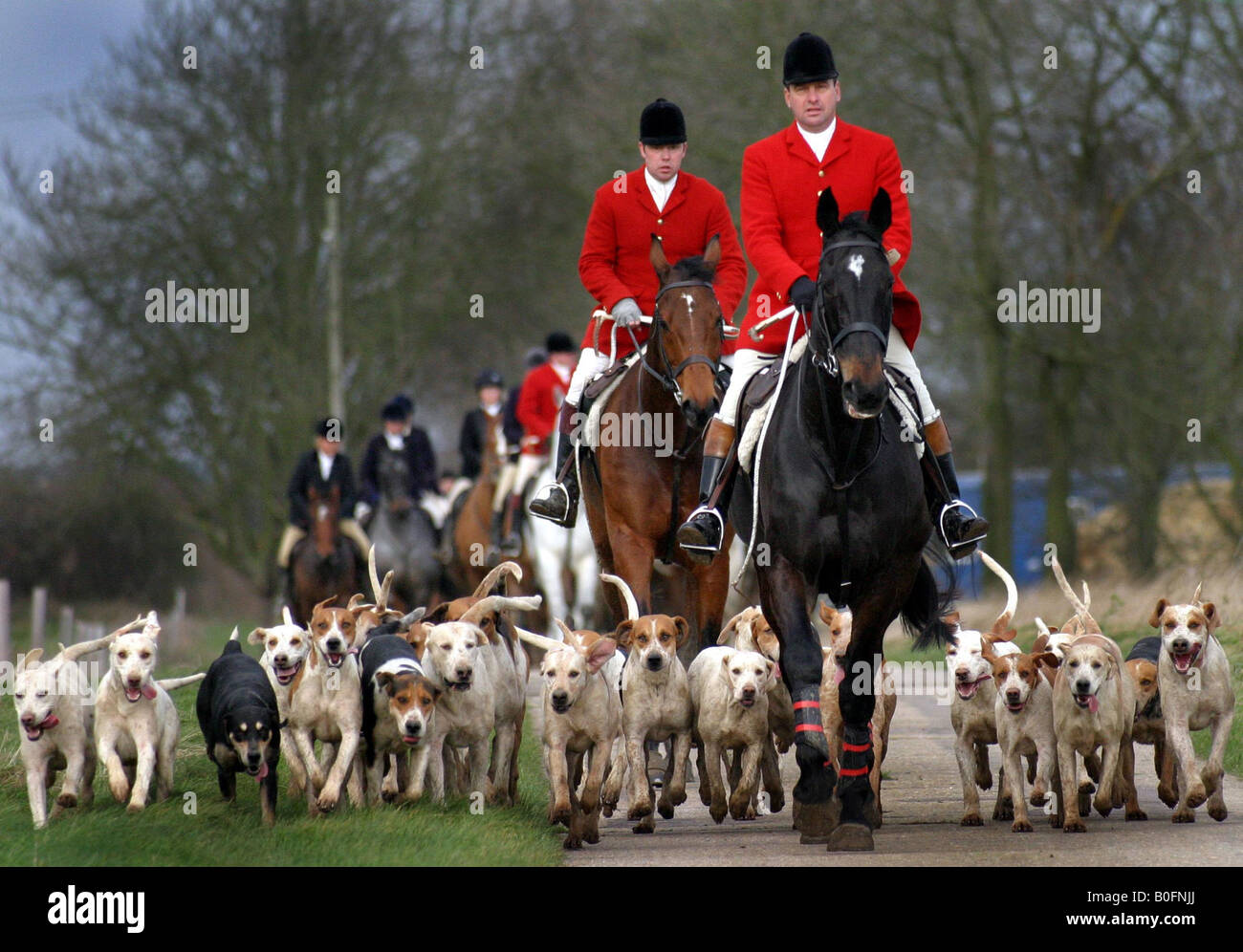 HUNTSMAN HUNT FOXES WITH HOUNDS AT FOX HUNT IN GREAT THURLOW AND WRATTING SUFFOLK 2005 - Stock Image