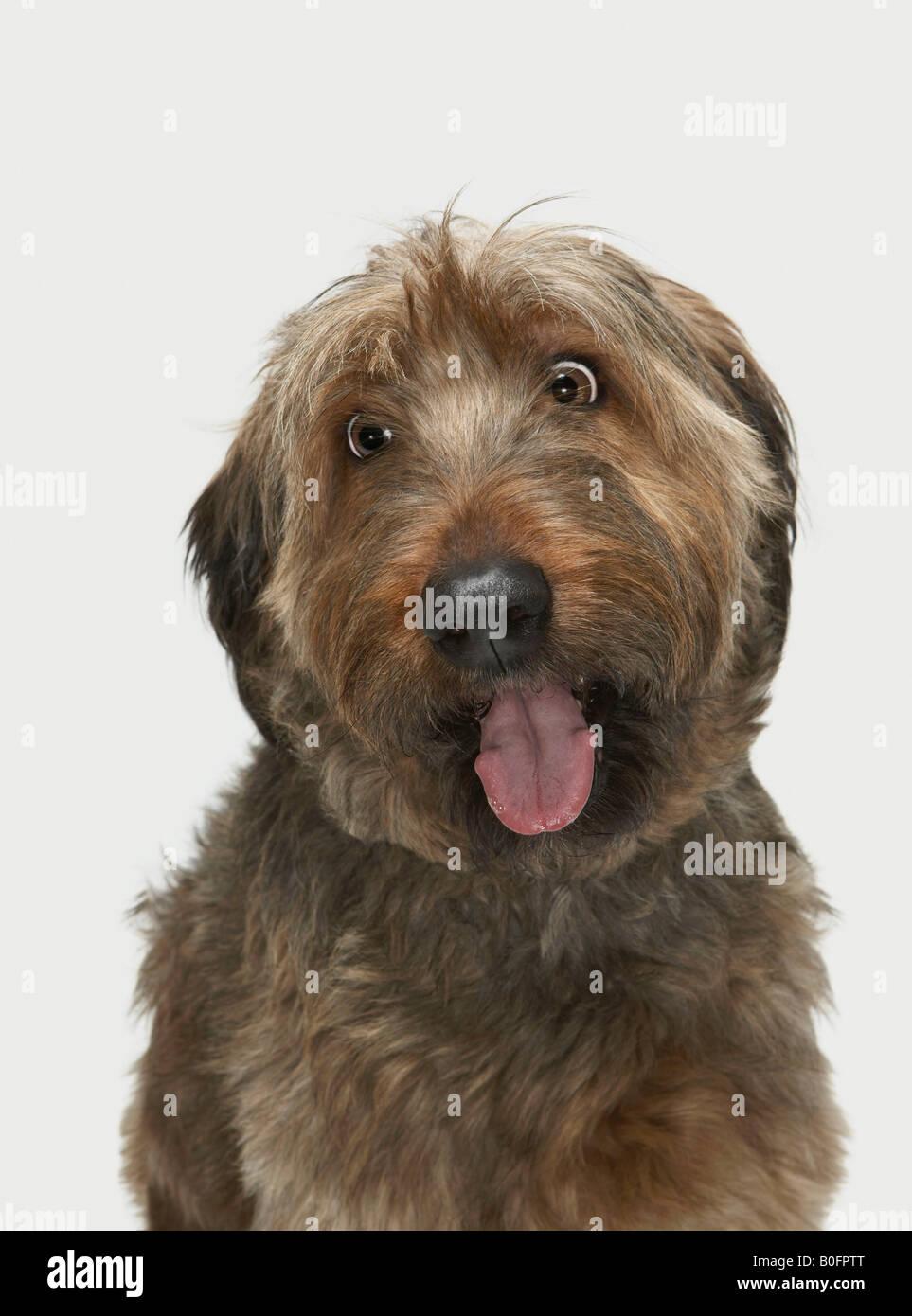 Portrait of Briard dog - Stock Image
