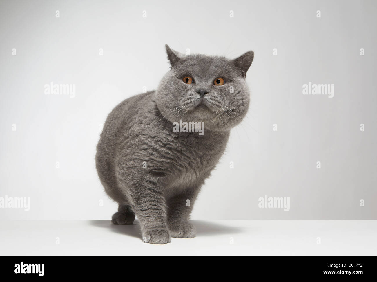Portrait of large grey cat - Stock Image