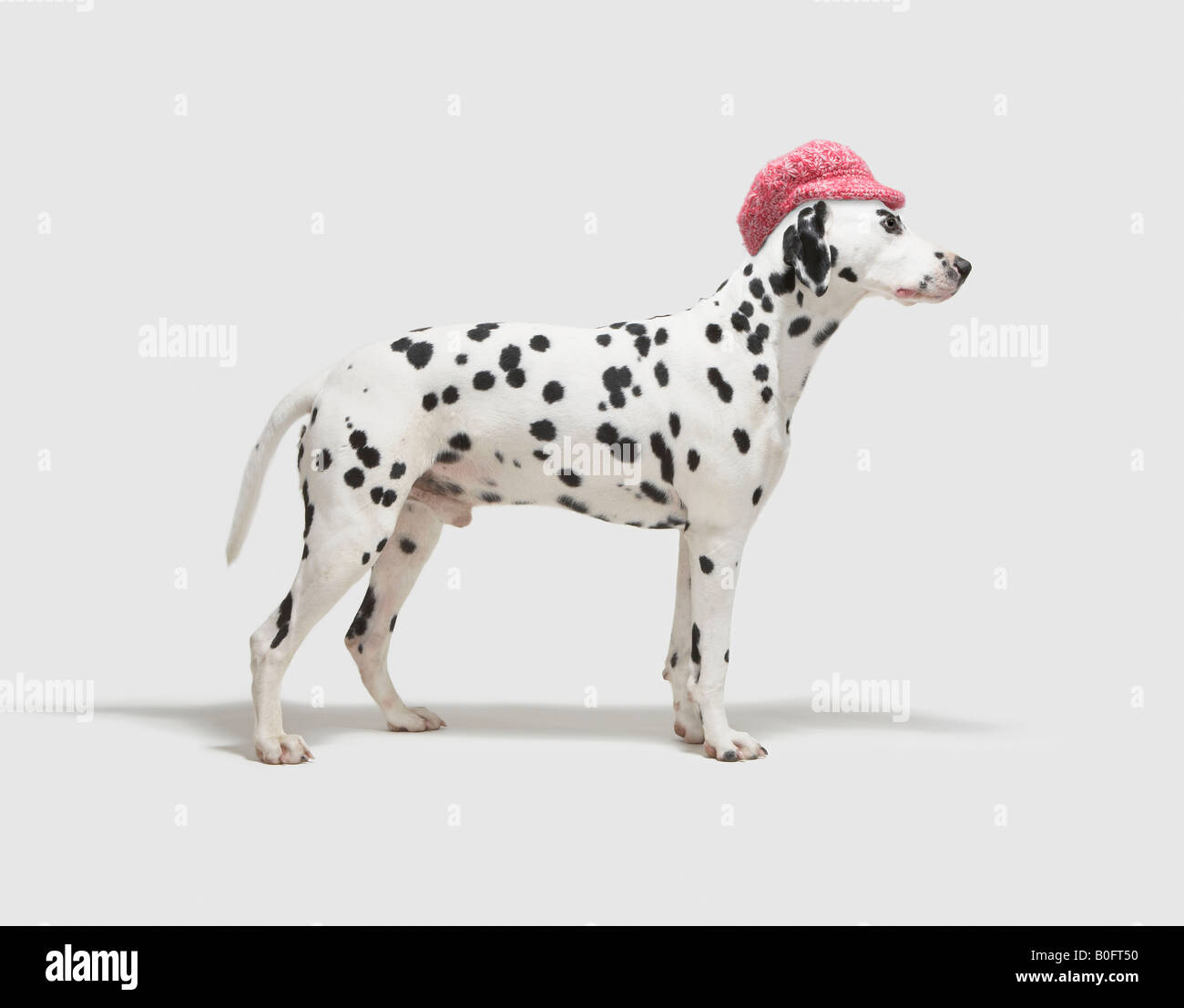 Dog wearing a hat - Stock Image