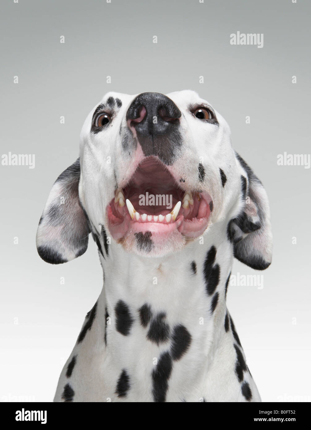 Close up of a Dalmatian dog - Stock Image