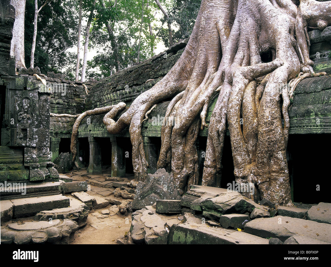 Wat Is Kapok.Giant Kapok Tree Root Covering Ta Phrom Temple At Angkor Wat