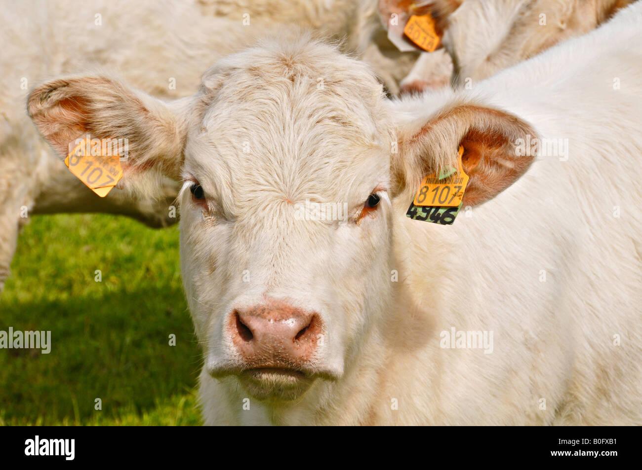 Portrait of a Charolais calf tagged in each ear. Stock Photo