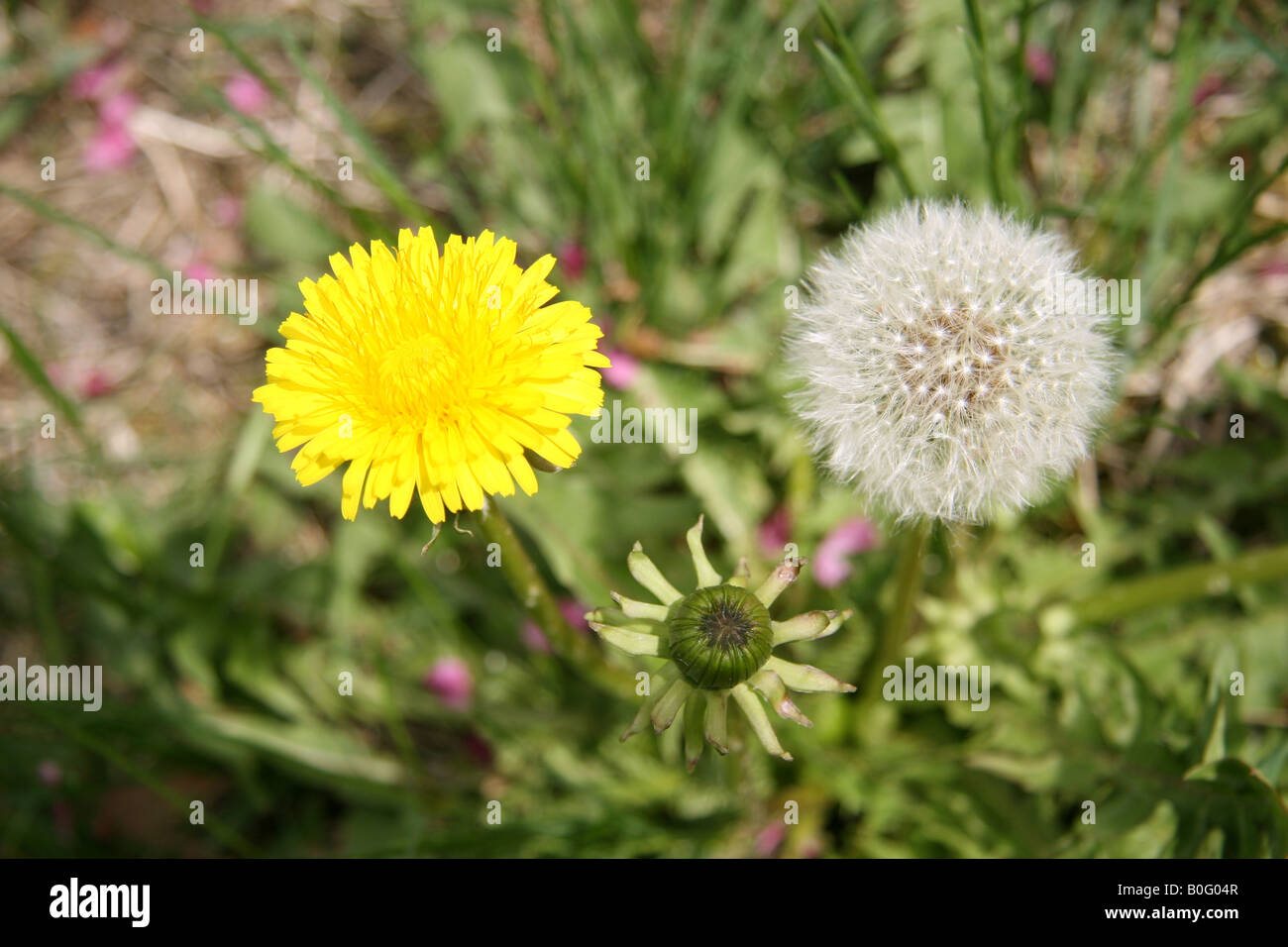 Dandelion flower clock and bud. The pink objects on the ground are petals from a flowering crab apple tree. - Stock Image