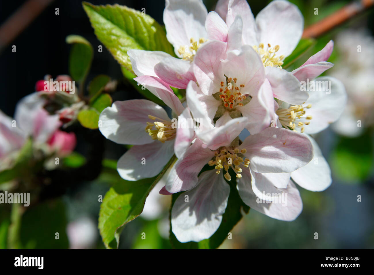 Apple Blossom flowering on a tree - Stock Image