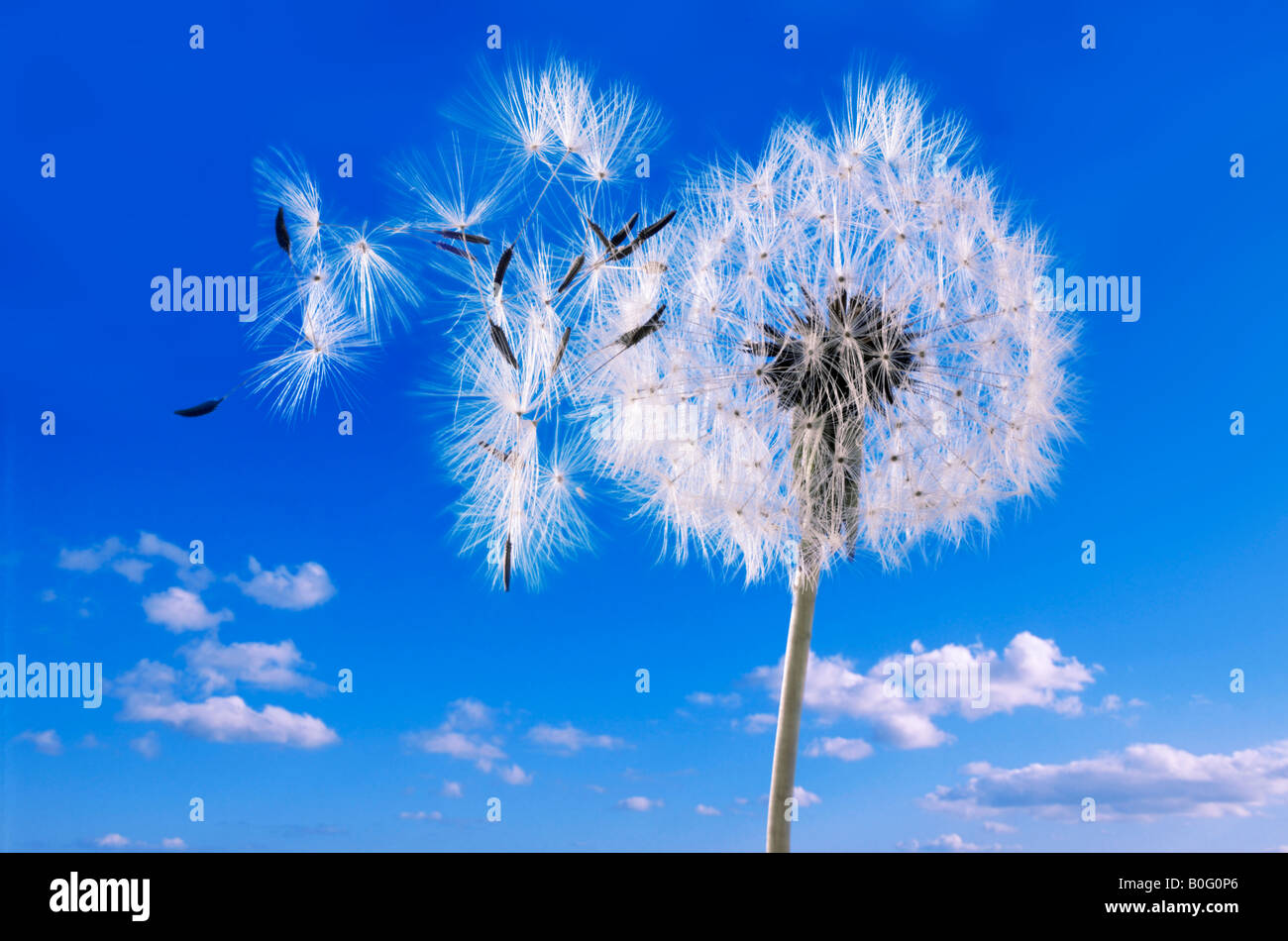 Dandelion Clock  against a blue sky - Stock Image