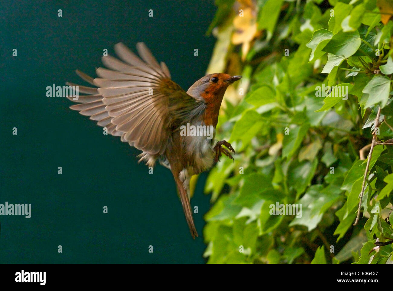 Robins Flying Stock Photos Images Alamy Wiring Instructions Becu Robin In Flight Erithacus Rubecula Image