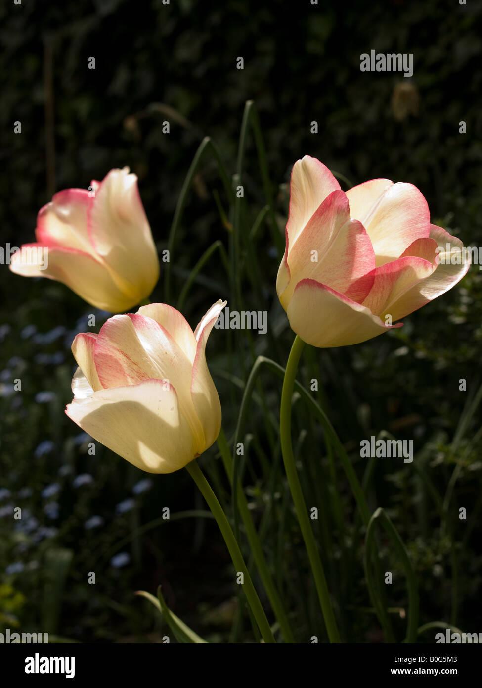 Three single tulips - Stock Image
