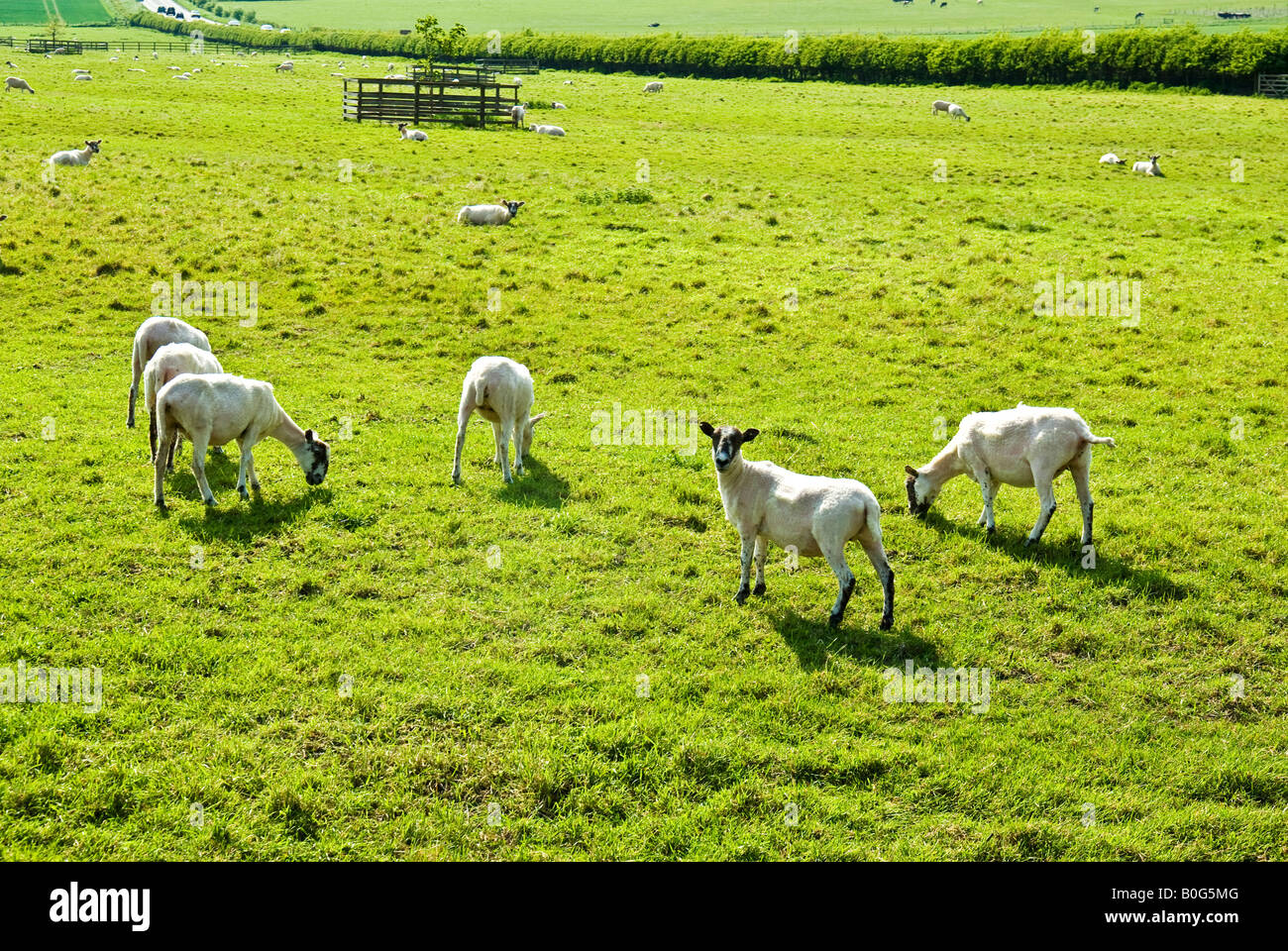 Shorn sheep in a Wiltshire field in May - Stock Image