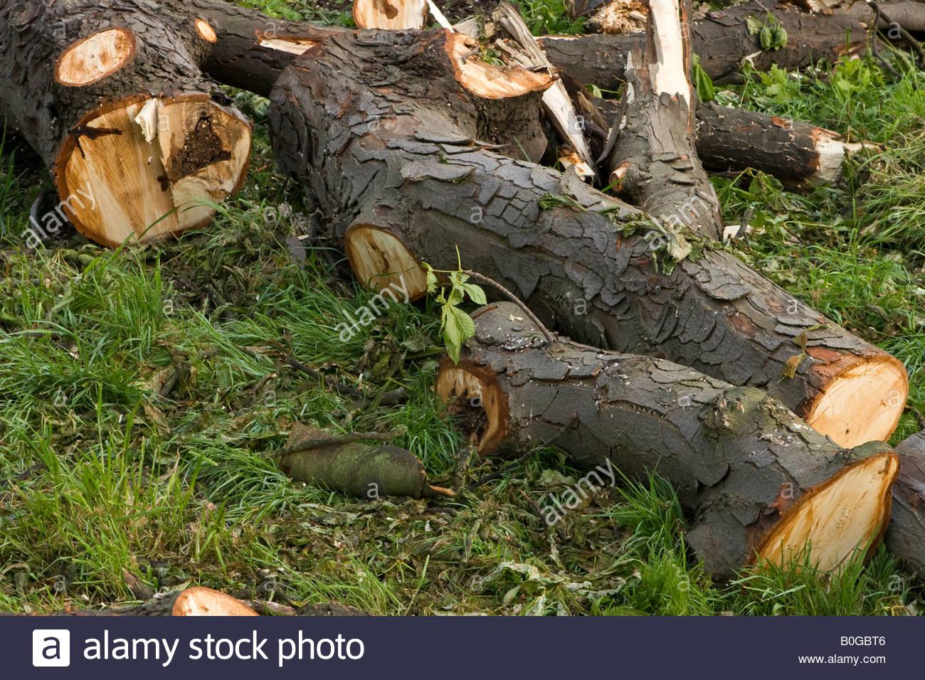 Diseased horse chestnuts (Aesculus hippocastranum), UK. - Stock Image