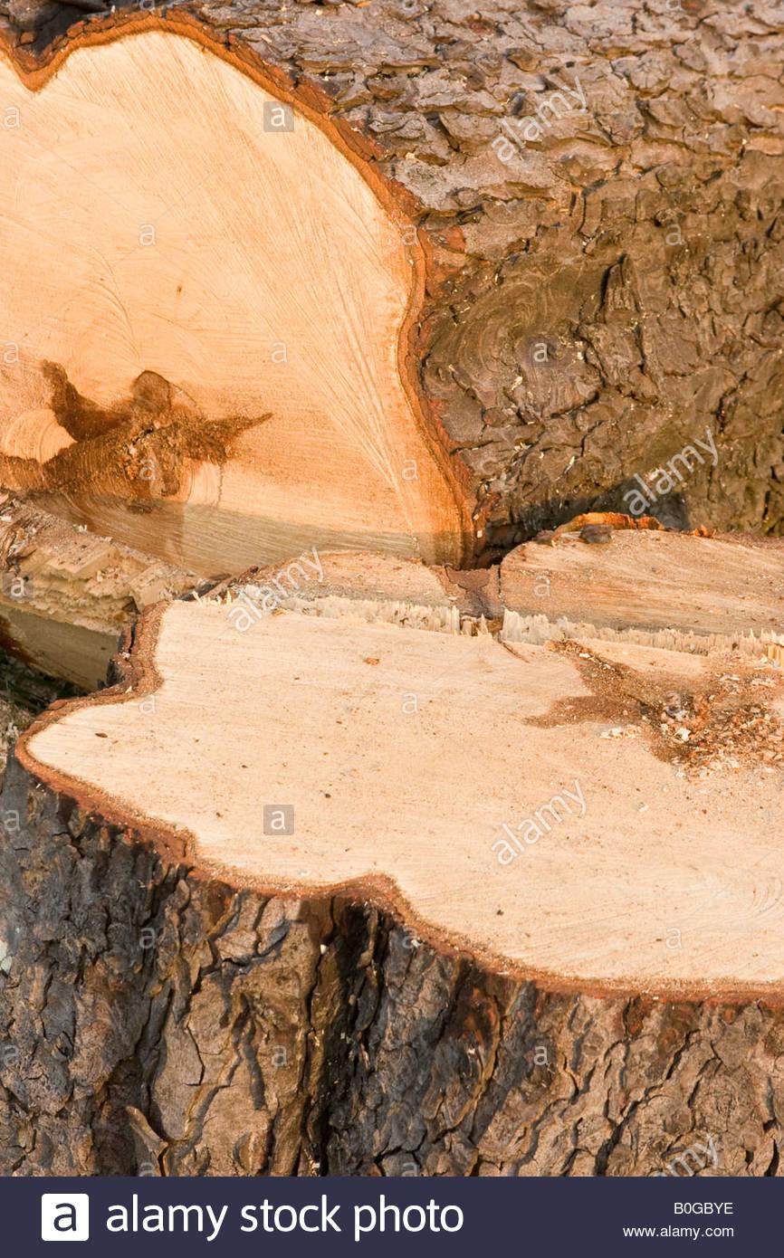 Diseased horse chestnut (Aesculus hippocastranum), UK. - Stock Image