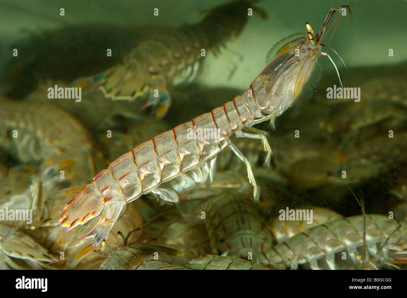 Mantis shrimp swimming using swimmerets eaten in Dalian Liaoning Province China known locally as xia pa zi Stock Photo