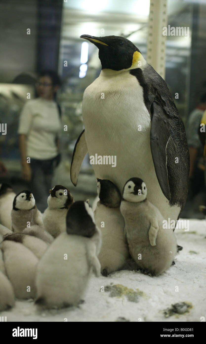 Visitor going past stuffed family of Emperor Penguins (Aptenodytes forsteri) in Zoological Museum in St Petersburg, - Stock Image