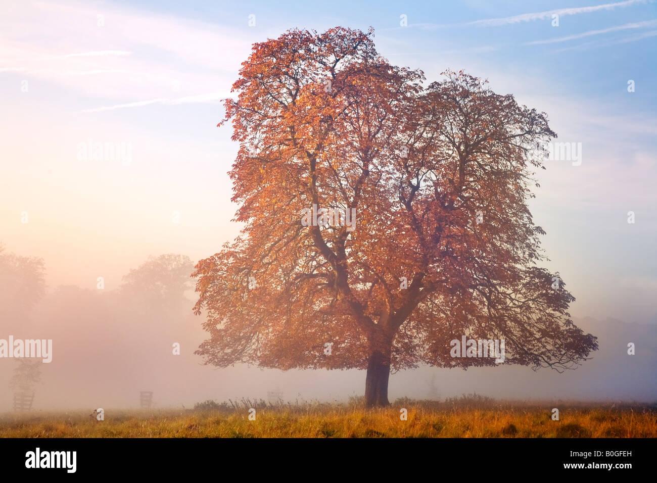 Autumn tree and mist - Chilterns, Buckinghamshire - Stock Image