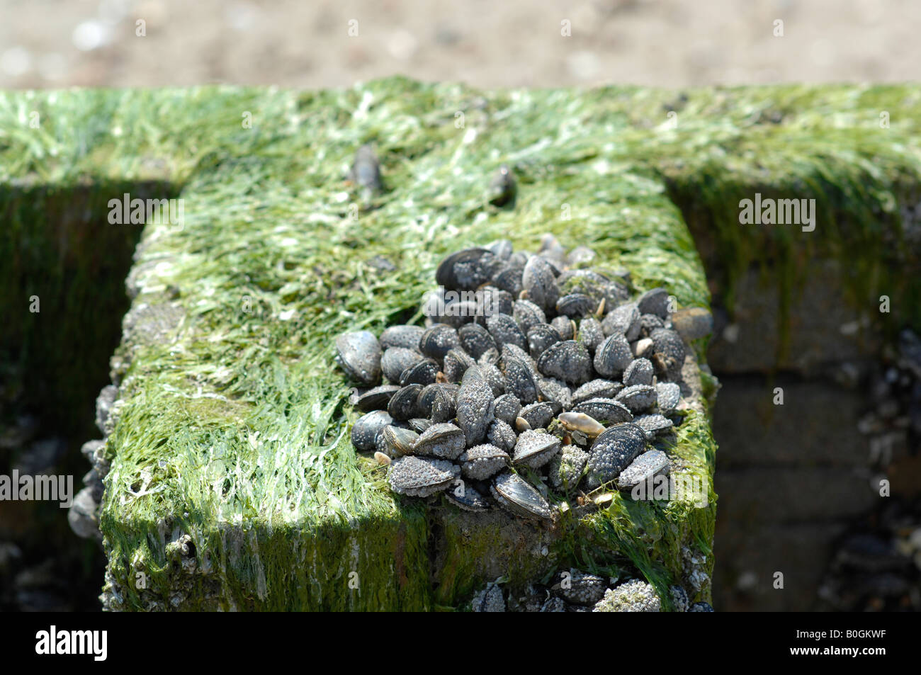 Shells and seaweed on beach bollards - Stock Image