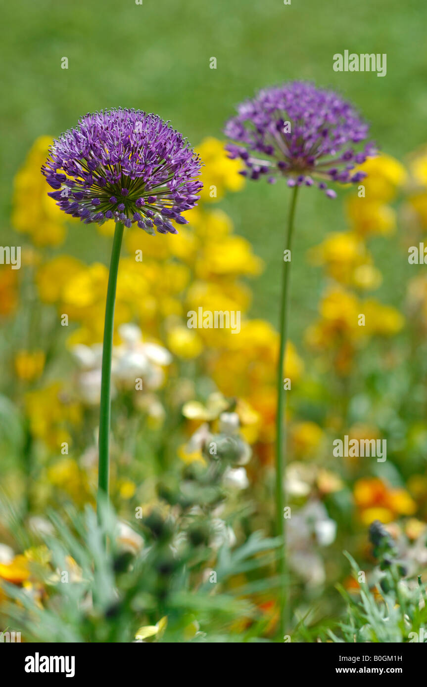 Alliums and Wallflowers in May - Stock Image