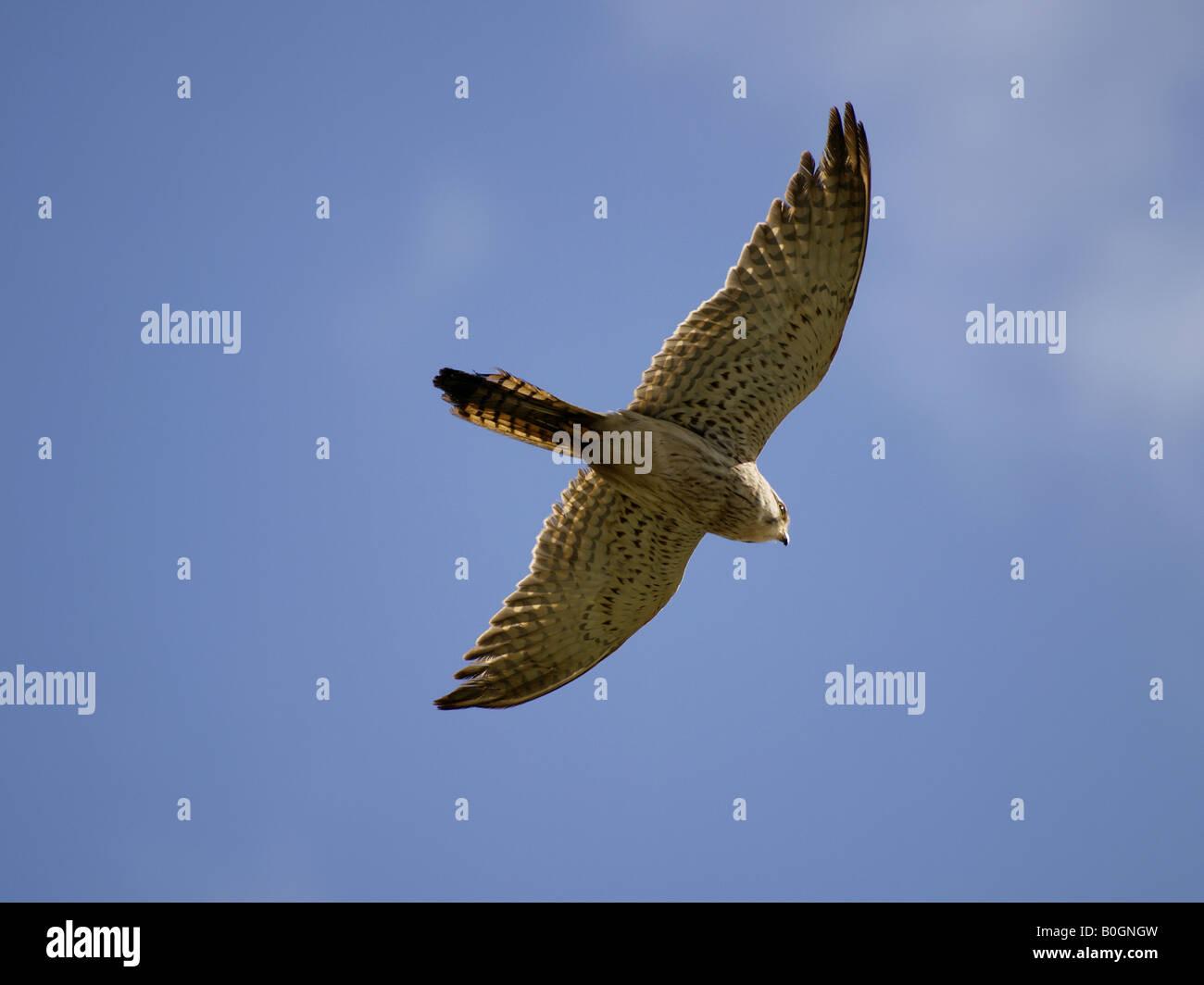 Female Kestrel, Falco tinnunculus, in flight searching for food. Cornwall, British Isles, UK - Stock Image