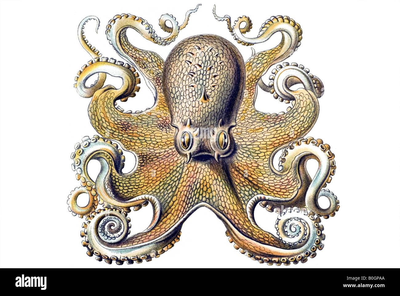 Squid Anatomy Stock Photos & Squid Anatomy Stock Images - Alamy
