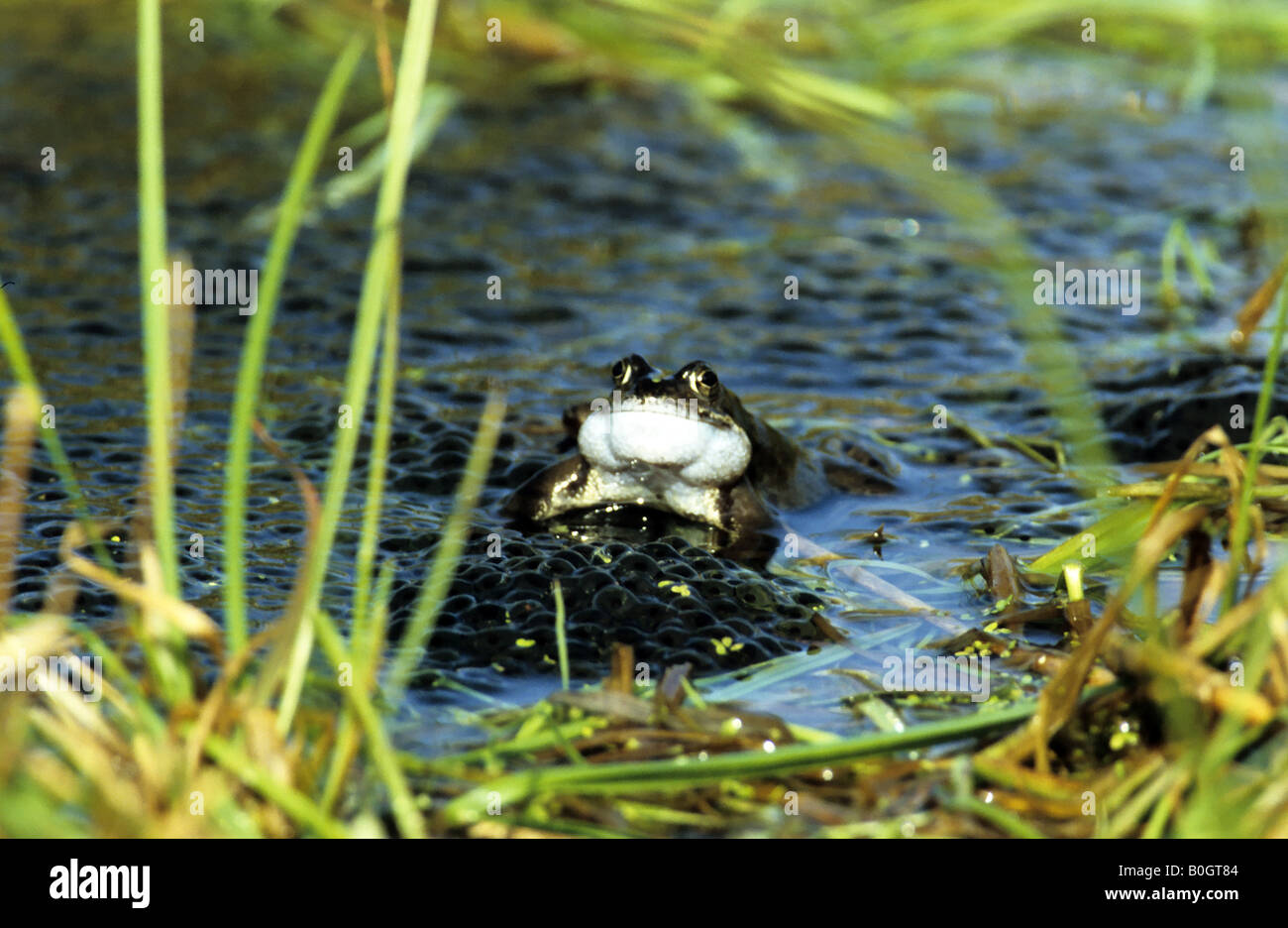 Croaking Frog. - Stock Image