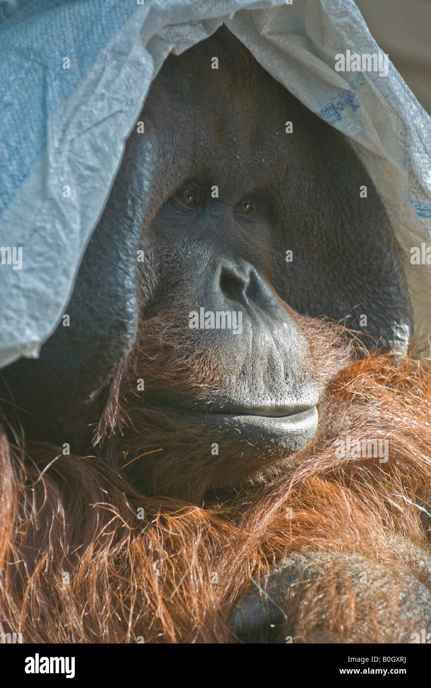 Bornean Orang-Utan (Pongo pygmaeus pygmaeus) Stock Photo