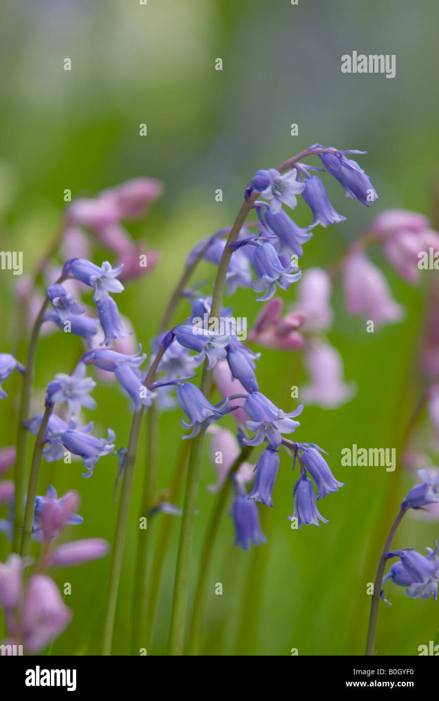 Close-up of a Spanish Bluebell - Stock Image