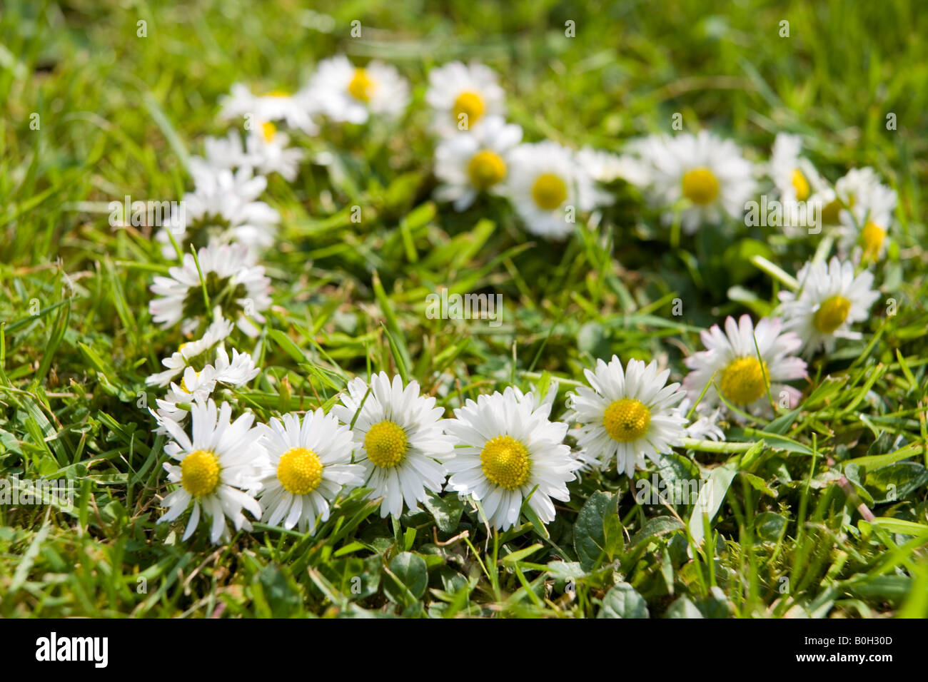 daisy chain in the shape of a heart on the grass - Stock Image