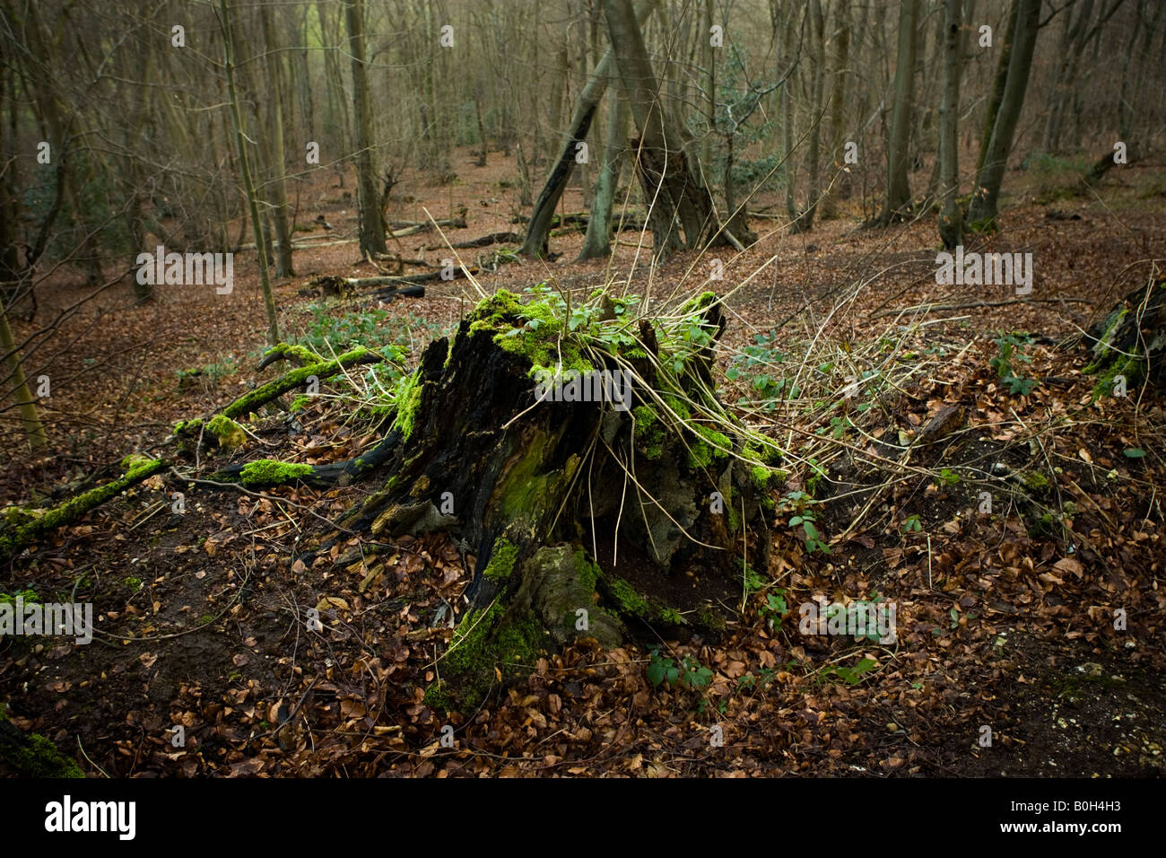 Woodland forest near Medmenham, Buckinghamshire, England. Stock Photo