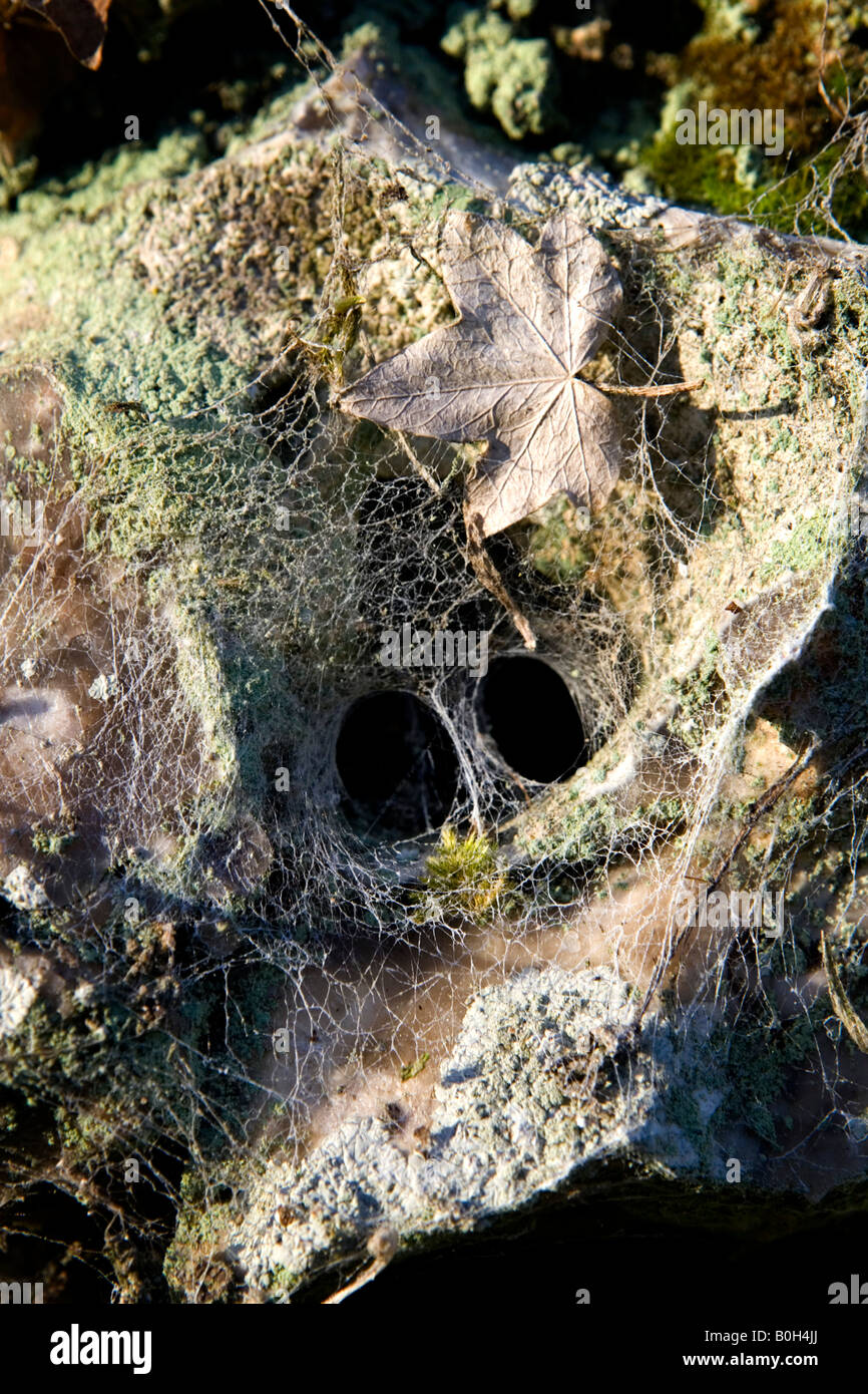 A tunnel spider's web in an old moss covered clay brick and flintstone wall in Medmenham, Buckinghamshire, England Stock Photo