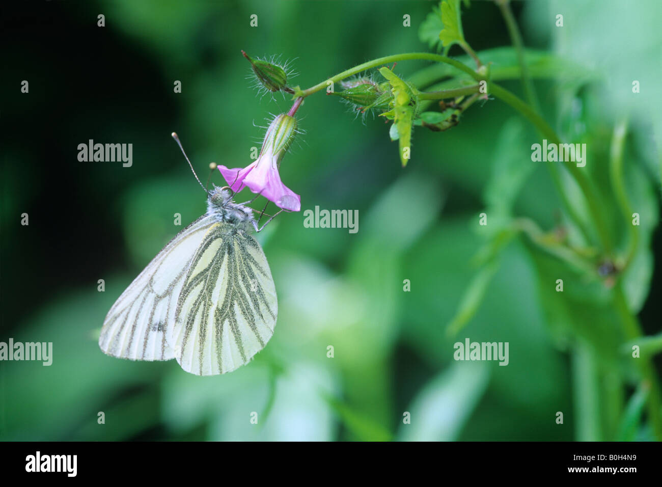 Green-Veined White Butterfly (Pieris napi) on Red Campion (Silene dioica) - Stock Image