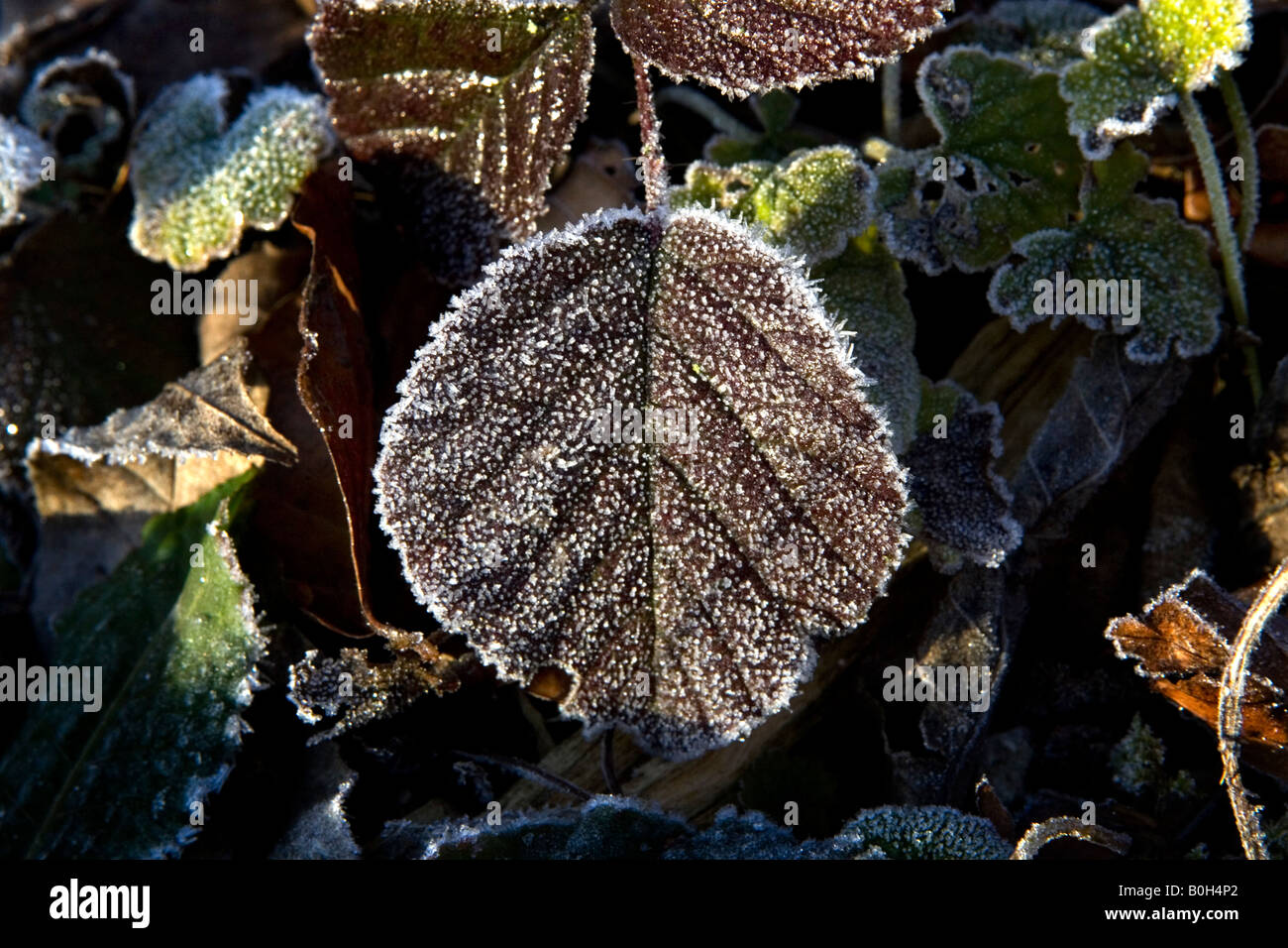 Hoar frost covers a leaf. Stock Photo