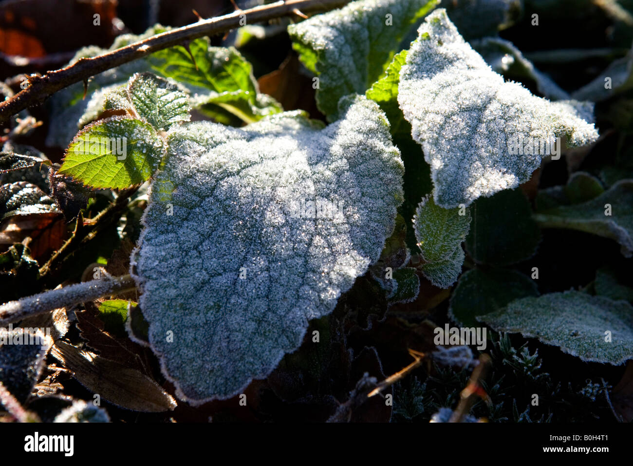 Frost covered leaves. Stock Photo