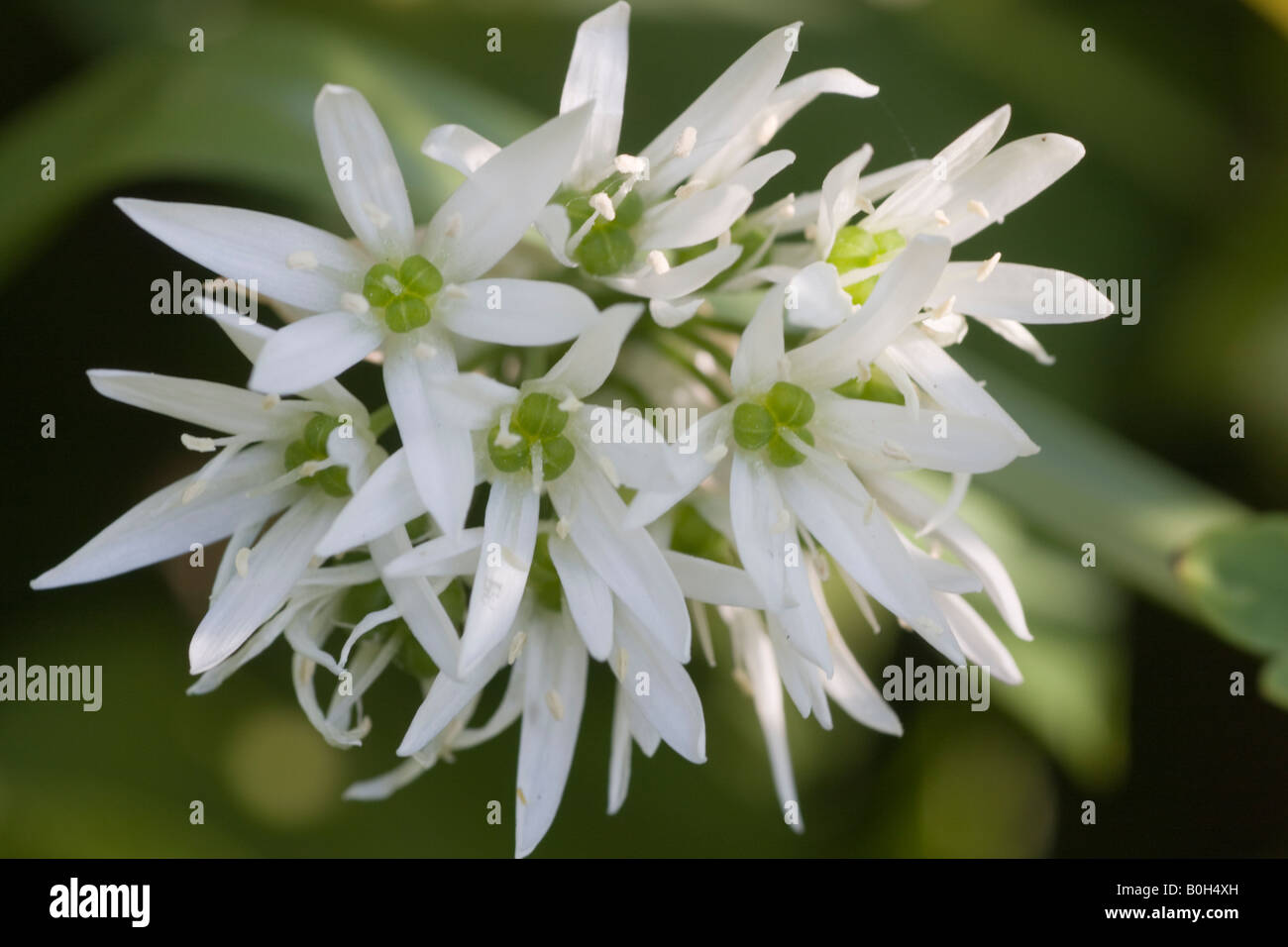 Garlic flowers stock photos garlic flowers stock images alamy closeup of the white flowers of a wild garlic allium ursinum the leaves are mightylinksfo