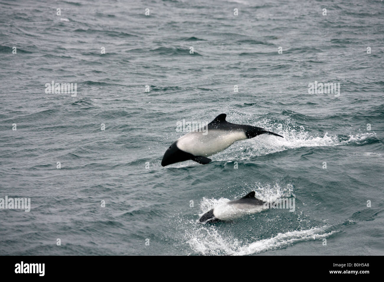 Mother and young Commersons Dolphin in the South Atlantic Ocean near the Falkland Islands - Cephalorhynchus commersonii - Stock Image